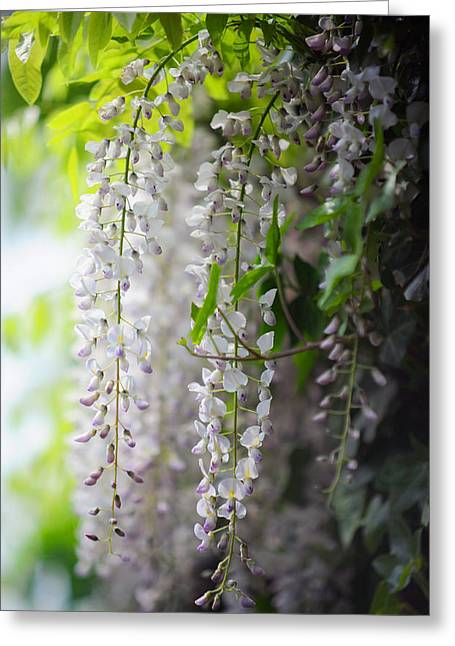 Wisteria Leaves Greeting Cards - Wisteria Garden. White Wisteria Greeting Card by Jenny Rainbow