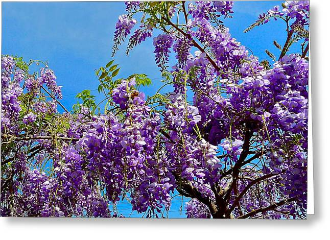 Wisteria In Bloom Greeting Cards - Wisteria In Bloom Greeting Card by Denise Mazzocco