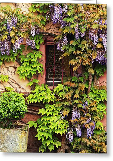 Wisteria In Bloom Greeting Cards - Wisteria On a Home in Zellenberg France 3 Greeting Card by Greg Matchick