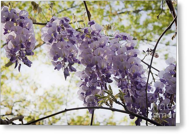 Woody Vine Greeting Cards - Wisteria Row Greeting Card by Teresa Mucha