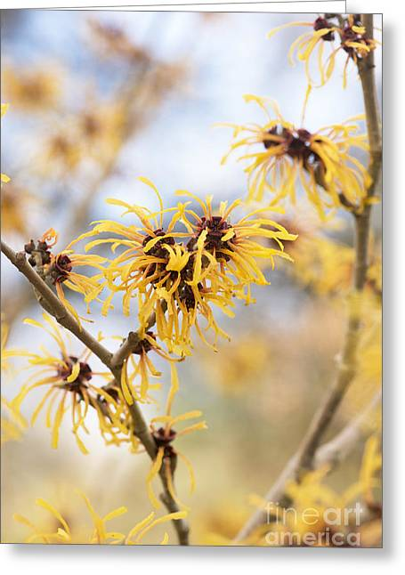 Witch Greeting Cards - Witch Hazel Greeting Card by Tim Gainey