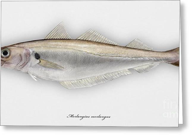 Fresh Food Drawings Greeting Cards - Withing Merlangius merlangus - Merlan - Merlano - Hvitting - Cod like fish - Seafood Art Greeting Card by Urft Valley Art