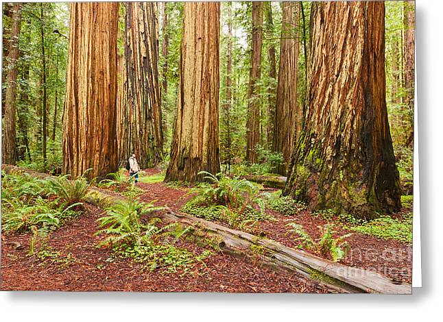 Large Scale Greeting Cards - Witness History - Massive giant redwoods Sequoia sempervirens in Redwood National Park. Greeting Card by Jamie Pham
