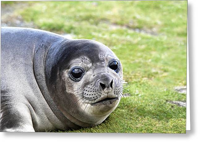 Elephant Seals Greeting Cards - Woeful Weaner Greeting Card by Ginny Barklow