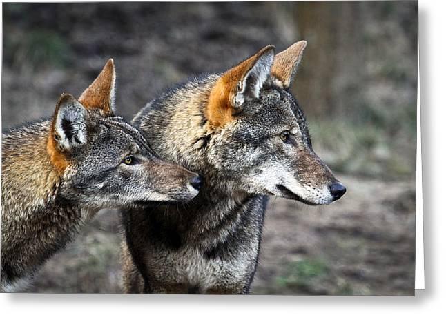 Preditor Greeting Cards - Wolf Alert Greeting Card by Steve McKinzie