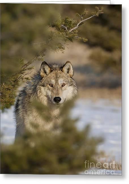 Wild Animals Greeting Cards - Wolf-animals-image-9 Greeting Card by Wildlife Fine Art