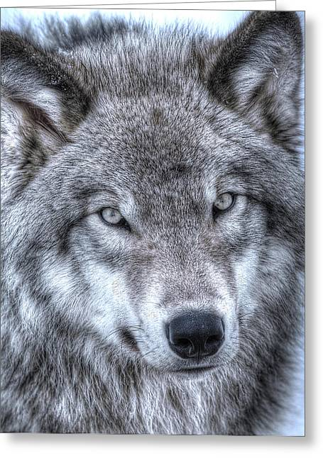 Gatineau Park Greeting Cards - Wolf Eyes Greeting Card by Joshua McCullough