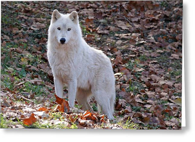 Arctic Wolf Greeting Cards - Wolf in Autumn Greeting Card by Sandy Keeton