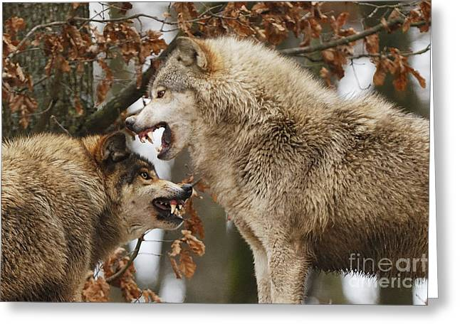 Wolf Face Greeting Cards - Wolf Intimidation, Canis Lupus Lycaon Greeting Card by Stefan Meyers