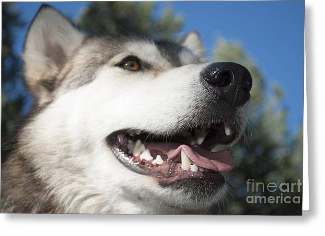 Wolf Head Greeting Cards - Wolf Greeting Card by Juli Scalzi