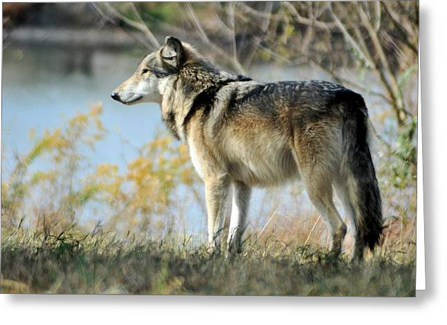 Puppies Greeting Cards - Wolf Greeting Card by Michelle McPhillips