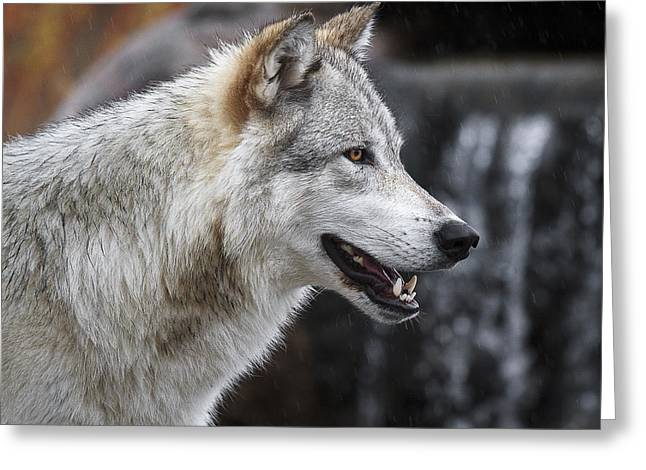 Wolf Smile D9933 Greeting Card by Wes and Dotty Weber