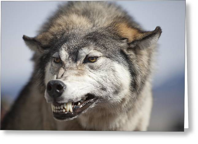 Growling Greeting Cards - Wolf Snarl Greeting Card by Debbie Hamilton