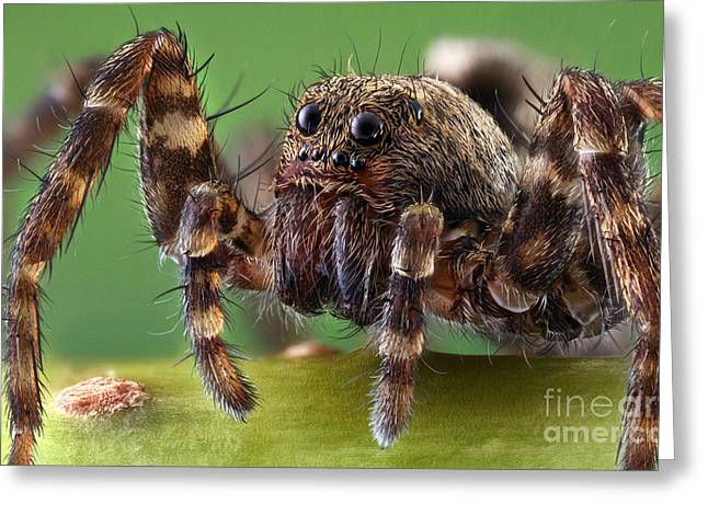 Hairy Wolf Greeting Cards - Wolf Spider Greeting Card by Matthias Lenke