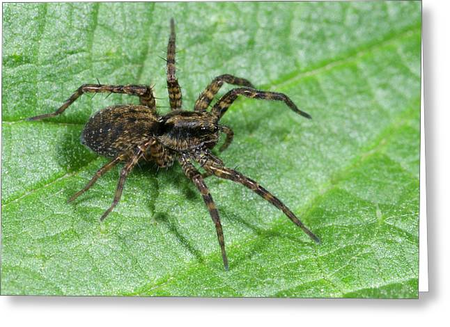 Wolf Spider Greeting Card by Nigel Downer