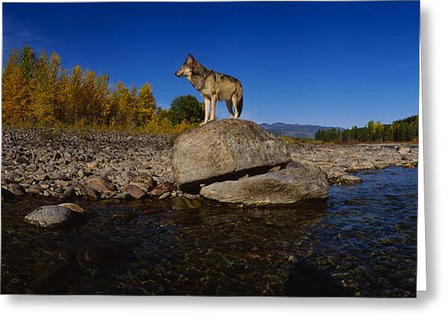 Reflections In River Greeting Cards - Wolf Standing On A Rock Greeting Card by Panoramic Images