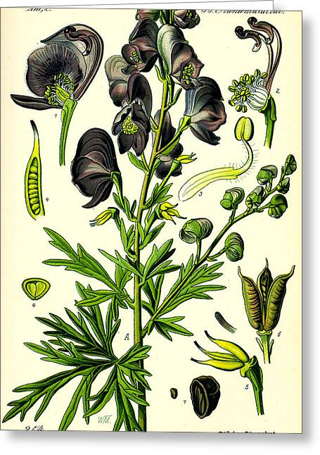 Thome Greeting Cards - Wolfsbane Greeting Card by Nomad Art And  Design