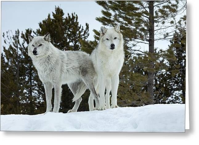 Wolfpack Greeting Cards - Wolves - Partners Greeting Card by Fran Riley