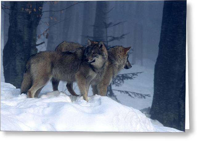 Landscape Photos Greeting Cards - Wolves  Greeting Card by Anonymous