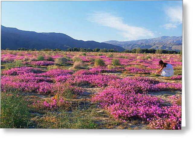Verbena Greeting Cards - Woman In A Desert Sand Verbena Field Greeting Card by Panoramic Images