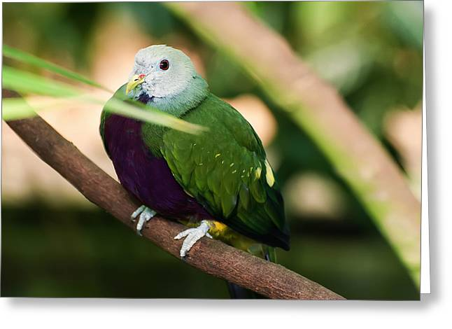 Bird Pictures Greeting Cards - Wompoo Fruit Dove Greeting Card by Chris Flees