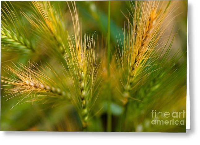 Golden Summer Grass Greeting Cards - Wonderous Wild Wheat Greeting Card by Venetta Archer