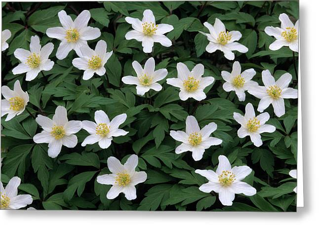 Thimbleweed Greeting Cards - Wood Anemone Anemone Nemorosa Field Greeting Card by Cisca Castelijns