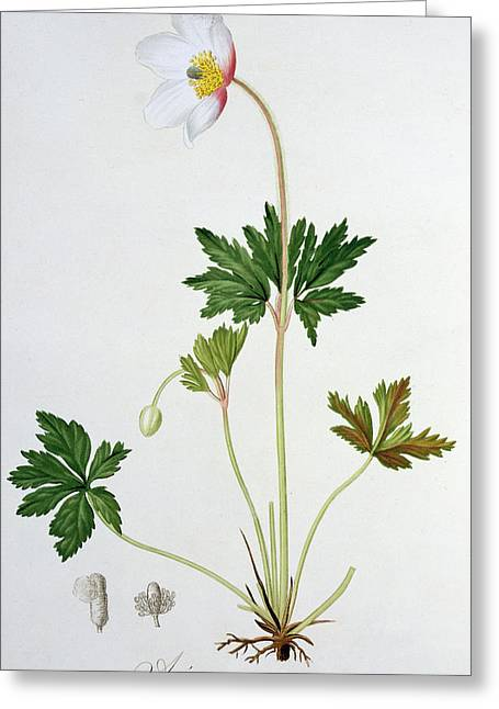 Wildflower Fine Art Greeting Cards - Wood Anemone Greeting Card by LFJ Hoquart