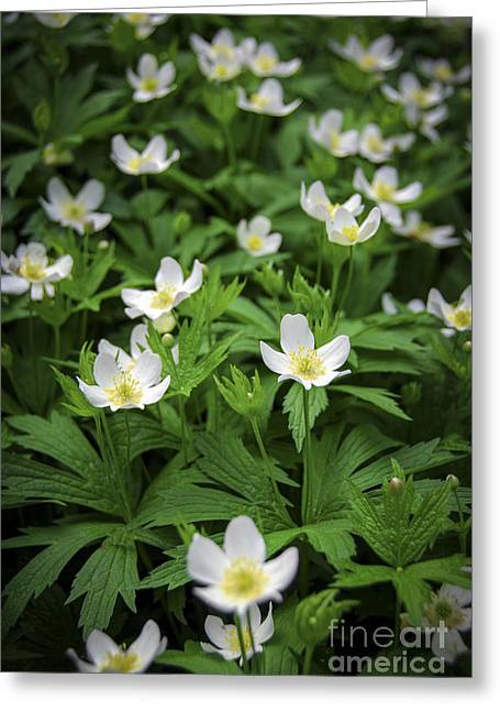 Anemone Greeting Cards - Wood anemones Greeting Card by Elena Elisseeva
