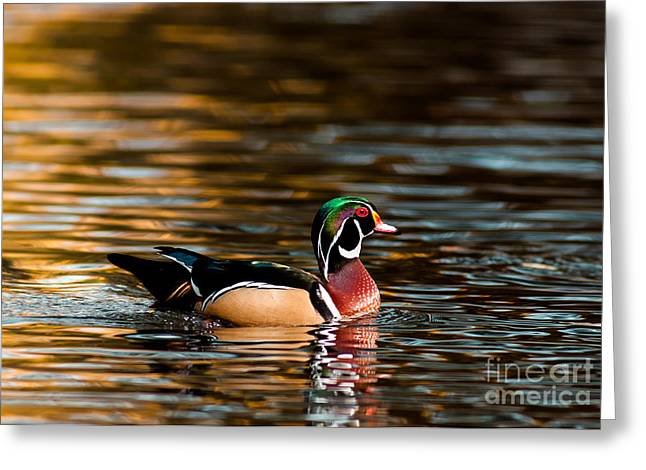 Cabin Window Greeting Cards - Wood Duck At Morning Greeting Card by Robert Frederick