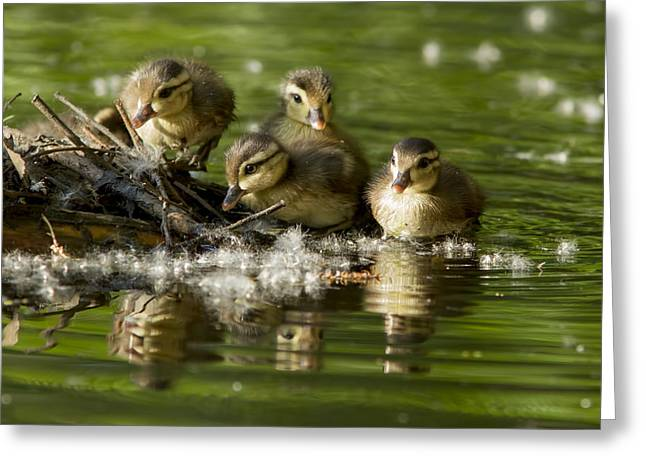 Baby Bird Greeting Cards - Wood Duck Babies Greeting Card by Mircea Costina Photography