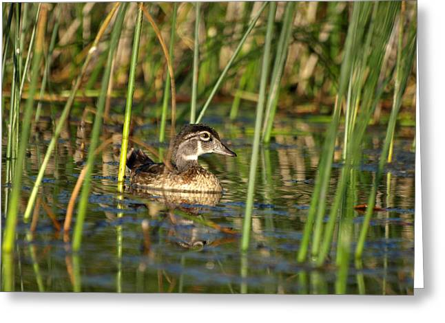 Hunting Cabin Greeting Cards - Wood Duck Drake Greeting Card by James Peterson