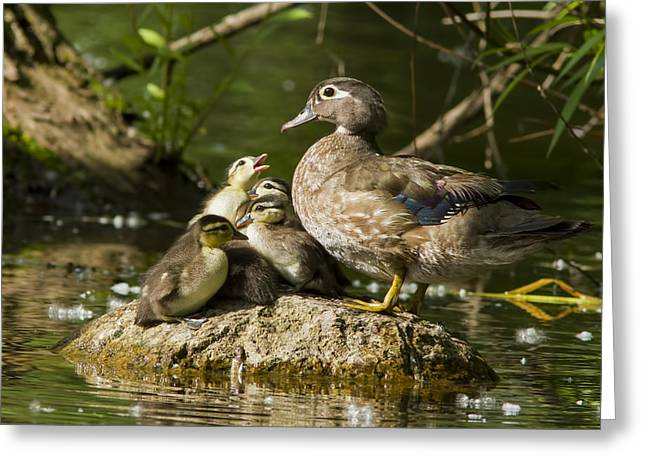 Baby Bird Greeting Cards - Wood Duck Family Greeting Card by Mircea Costina Photography