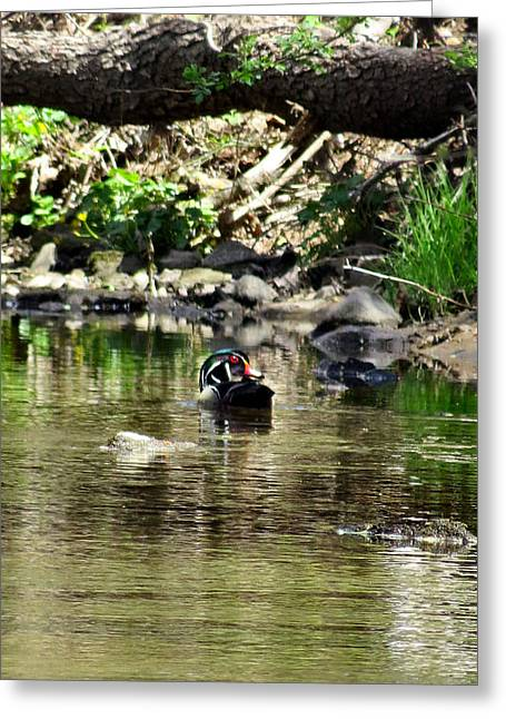 Stream Greeting Cards - Wood Duck Glance Greeting Card by Michelle Milano