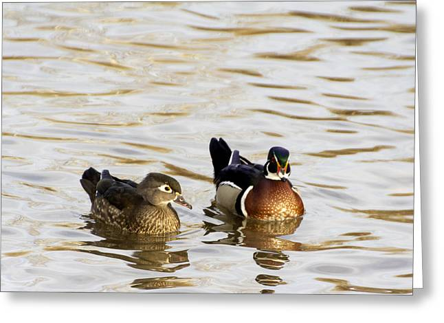 Wood Duck Pair Greeting Card by Dana Moyer