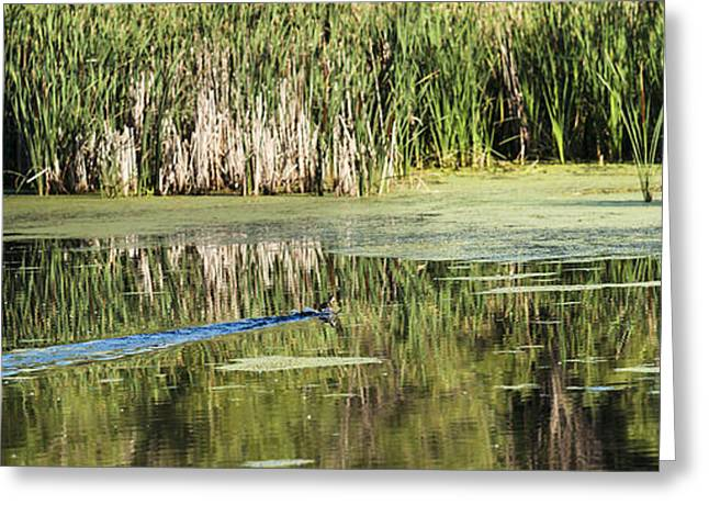 Water Fowl Greeting Cards - Wood Duck Skiddoo Greeting Card by Edward Peterson