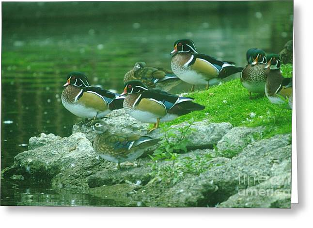Water Fowl Greeting Cards - Wood Ducks Hanging Out Greeting Card by Jeff  Swan
