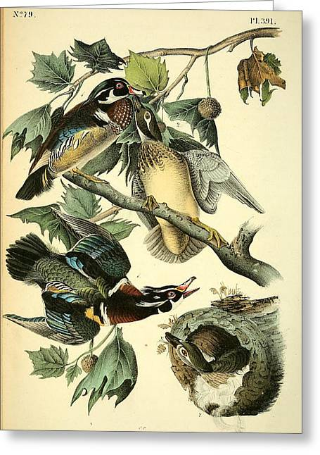 Wood Drawings Greeting Cards - Wood Ducks Greeting Card by John James Audubon