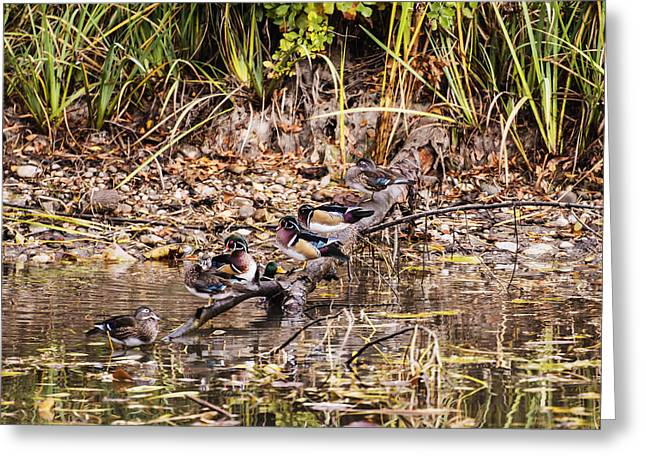 Living Beings Greeting Cards - Wood ducks Greeting Card by Vishwanath Bhat