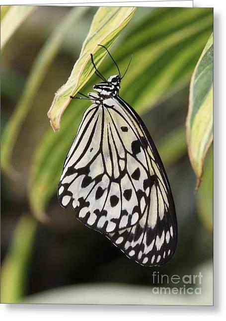 Eve Wheeler Greeting Cards - Wood Nymph Butterfly V-3 Greeting Card by Eve Wheeler