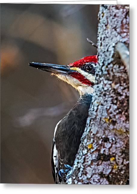 Pileated Greeting Cards - Wood Peeking Pecker Greeting Card by Paul Freidlund
