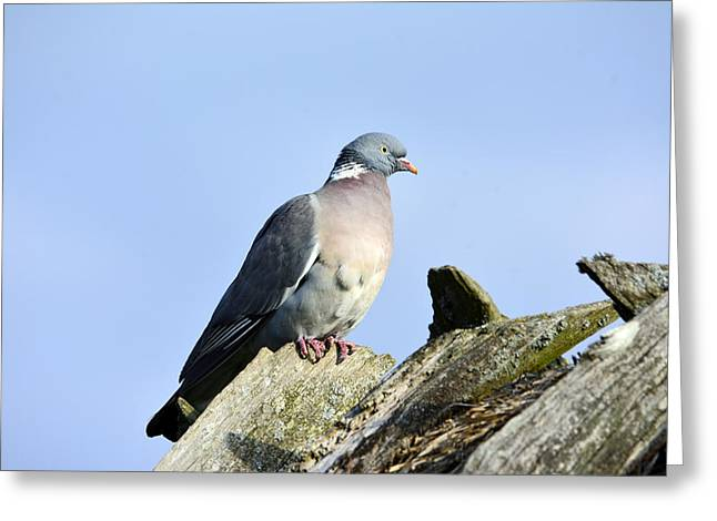 Feeding Mixed Media Greeting Cards - Wood pigeon Greeting Card by Toppart Sweden