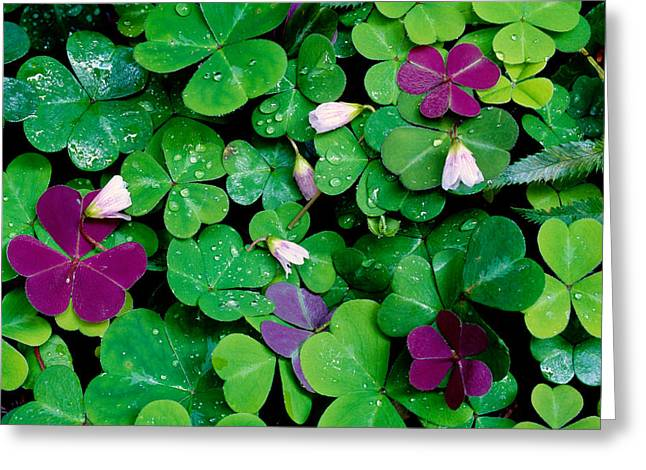 Droplet Greeting Cards - Wood Sorrel Plants Oxalis Oregana Greeting Card by Panoramic Images