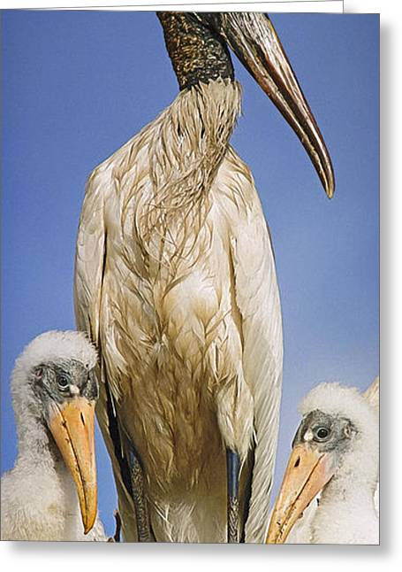 Baby Bird Greeting Cards - Wood Stork Family Greeting Card by Patrick M Lynch