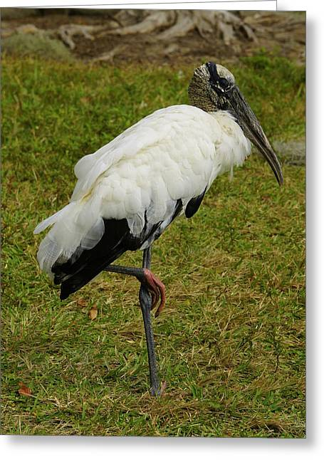 Fed Greeting Cards - Wood Stork Greeting Card by Laurie Perry