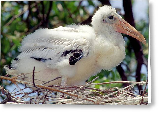 Baby Bird Greeting Cards - Wood Stork Nestling Greeting Card by Millard H. Sharp