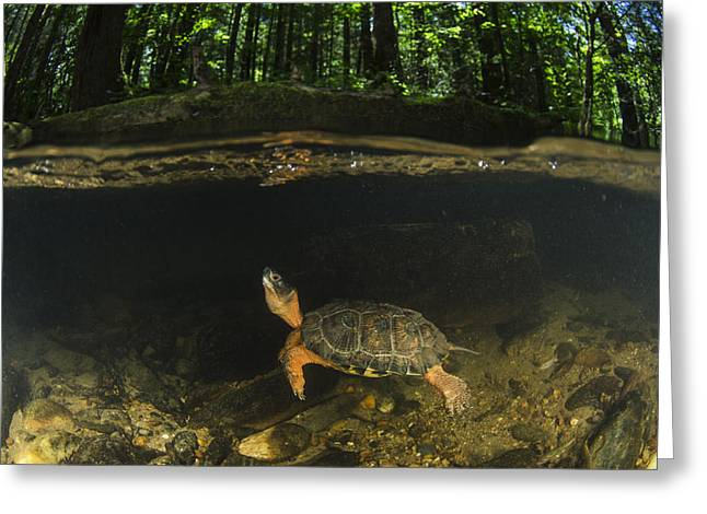 Wood Turtle Swimming North America Greeting Card by Pete Oxford