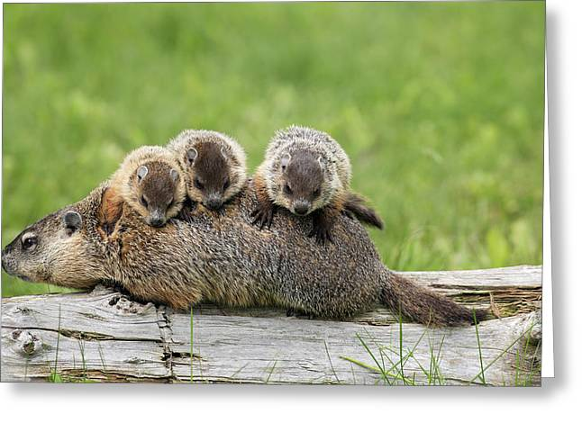 Groundhog Photographs Greeting Cards - Woodchuck Carrying Young Minnesota Greeting Card by Jurgen & Christine Sohns