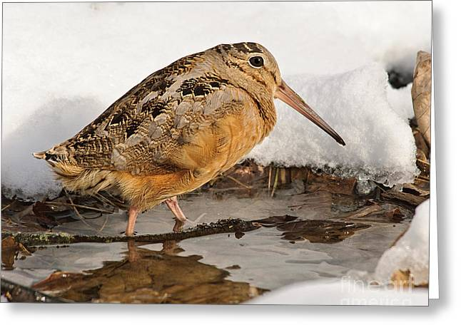 Woodcock Greeting Cards - Woodcock in Winter Greeting Card by Timothy Flanigan