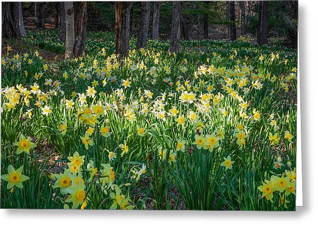 Yellow Flower Greeting Cards - Woodland Daffodils Greeting Card by Bill  Wakeley
